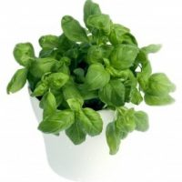 How to Grow Basil Indoors