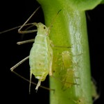 Aphid (Image attributed to Shipher Wu and Gee-way Lin, National Taiwan University)