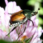 Japanese Beetle (Image attributed to Bruce Marlin, taken at the Morton Arboretum, Lisle, Illinois, USA)